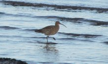 Curlew.aspx
